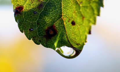 Droplet Leaf by SC-Creations