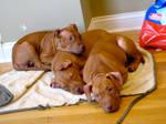 Red Pitbull Puppies
