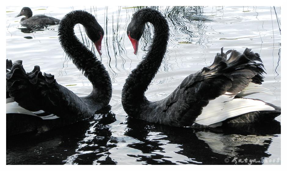 Black swan and white swan animal