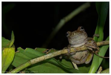 Peron's Tree Frog by Belldandy1