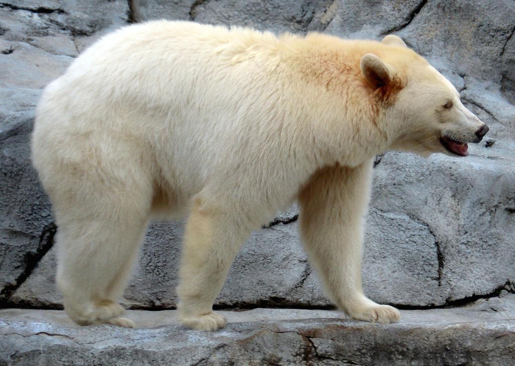 Spirit Bear by midnightstouchSTOCK
