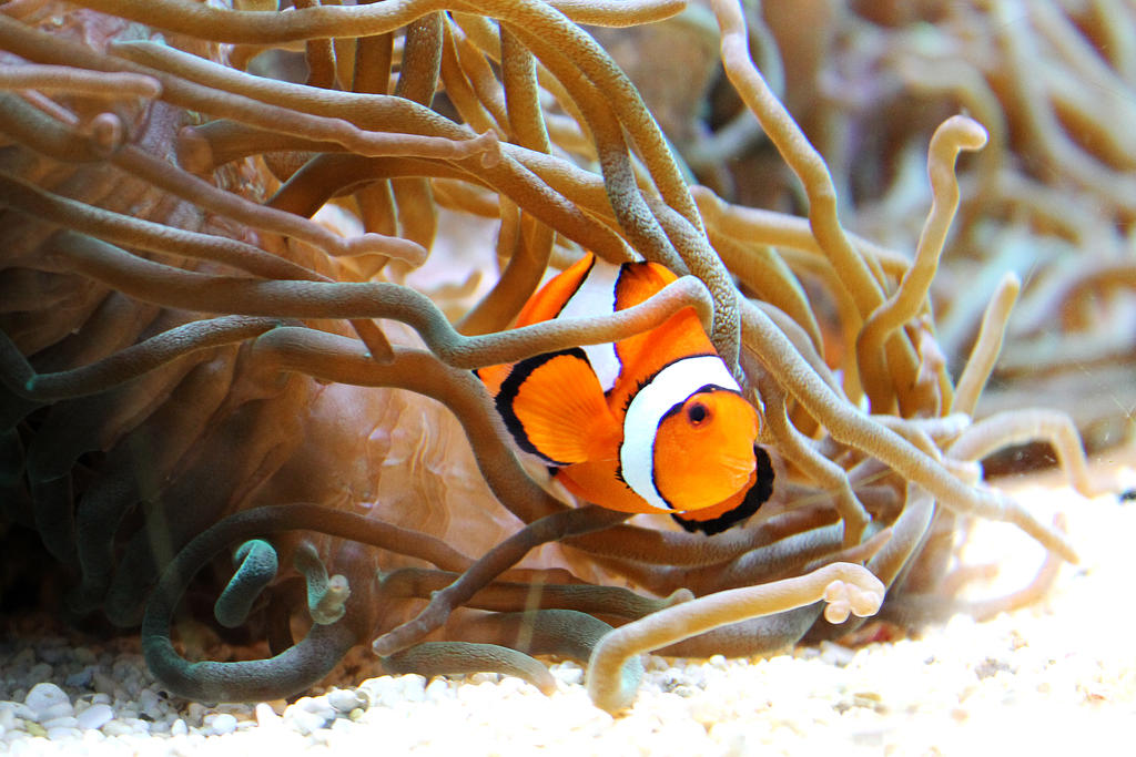 Clownfish by lisanne225
