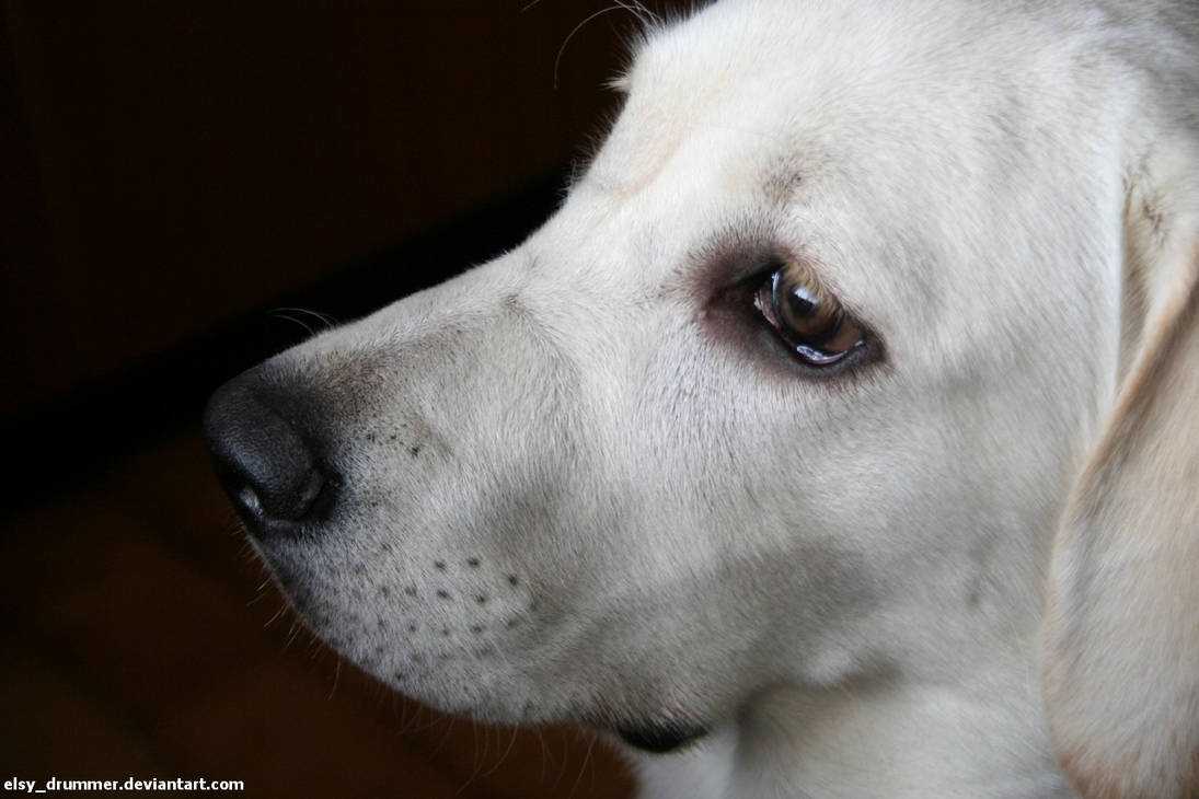 Labrador by elsydrummer