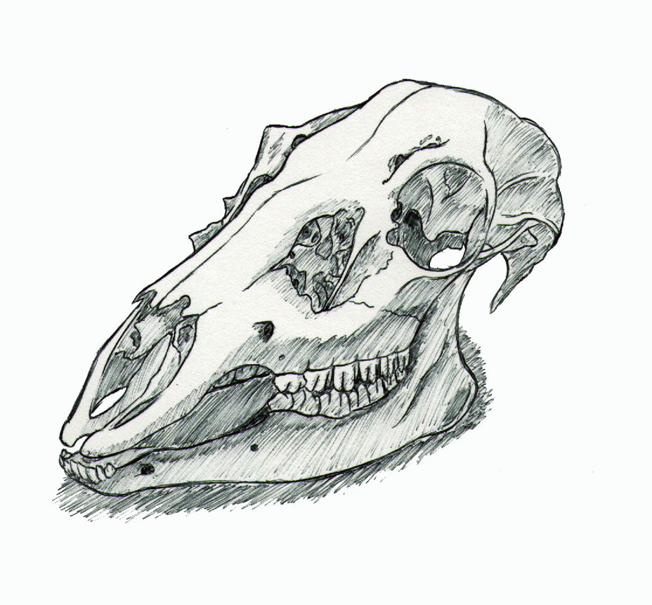 Deer Skull Study in Ink by JusztinaTepesh on DeviantArt