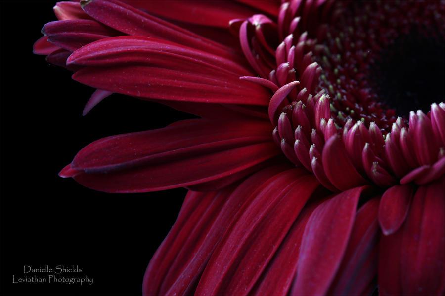 Intense Gerbera by DamiasPhotos