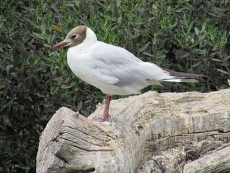 Mouette rieuse by Fairling