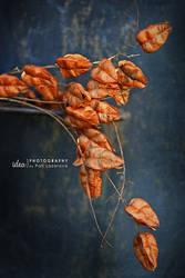 dry flower II by pollina