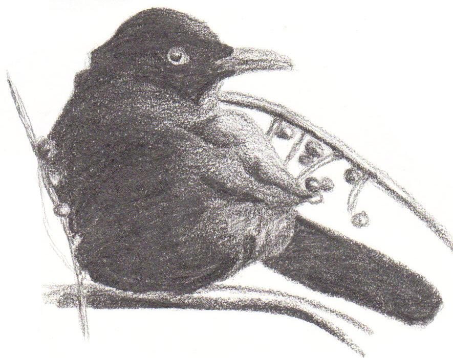 blackbirds drawing - photo #12