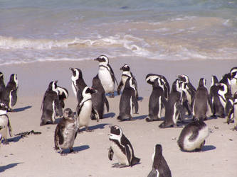 African Penguins by MeTheObscure