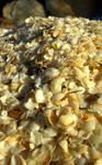 Sea Shells, Tasman Peninsula