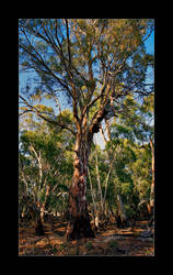 Red Gum Near The Murray