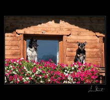 Two Dogs, Austrian Alps