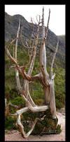 Pencil Pine, Lake Rhona by eehan