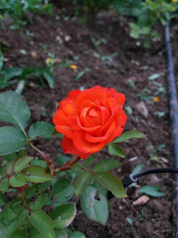 rose by clod113