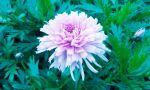 X Dragon Flower 2 X By Blackbloodyrose56-dbnwn62 by BlackBloodyRose56