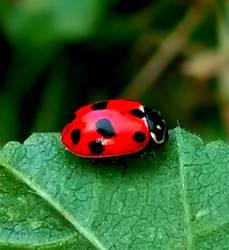 Lady Bug by BlackBloodyRose56