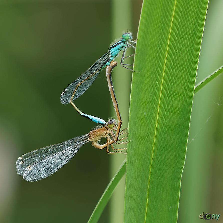 Dragonfly Duo by danys-world
