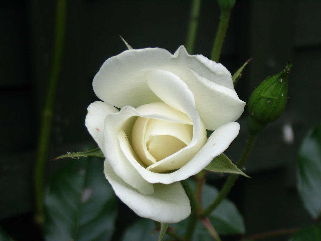 A single white rose by joelios on DeviantArt