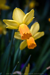 Spring Daffodil by HeatherTelesca
