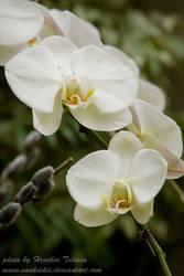 White Orchids by HeatherTelesca