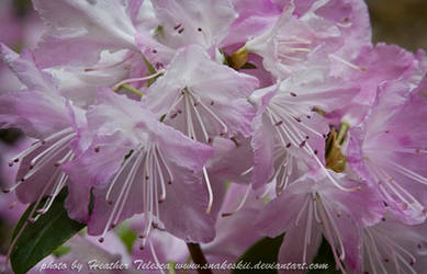 Pale Rhododendron by HeatherTelesca