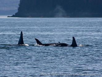 Orca 2 by HeatherTelesca