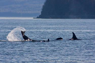 Orca 1 by HeatherTelesca