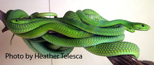 East African Green Mambas by HeatherTelesca
