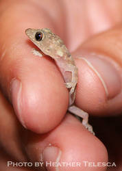 Itty Bitty Gecko by HeatherTelesca