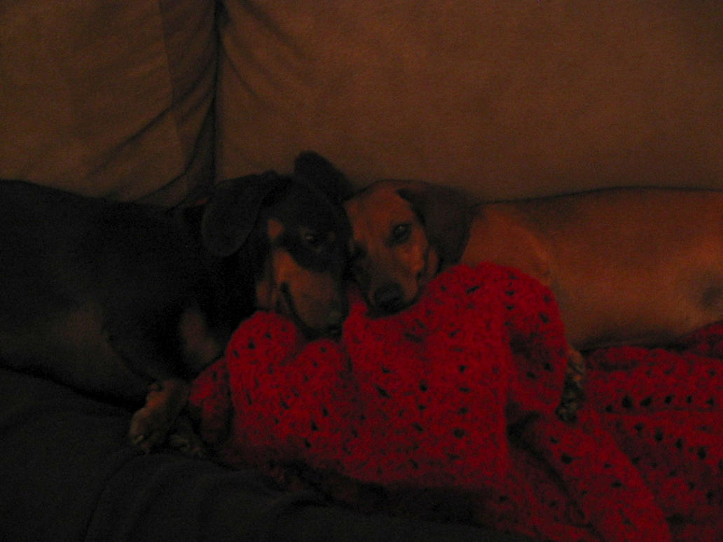 Dachshunds and a Blanket by feetdangling