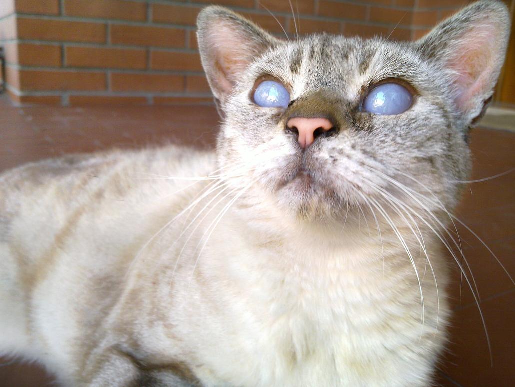 blue lynx point