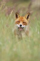 Happy Fox by JulianRad