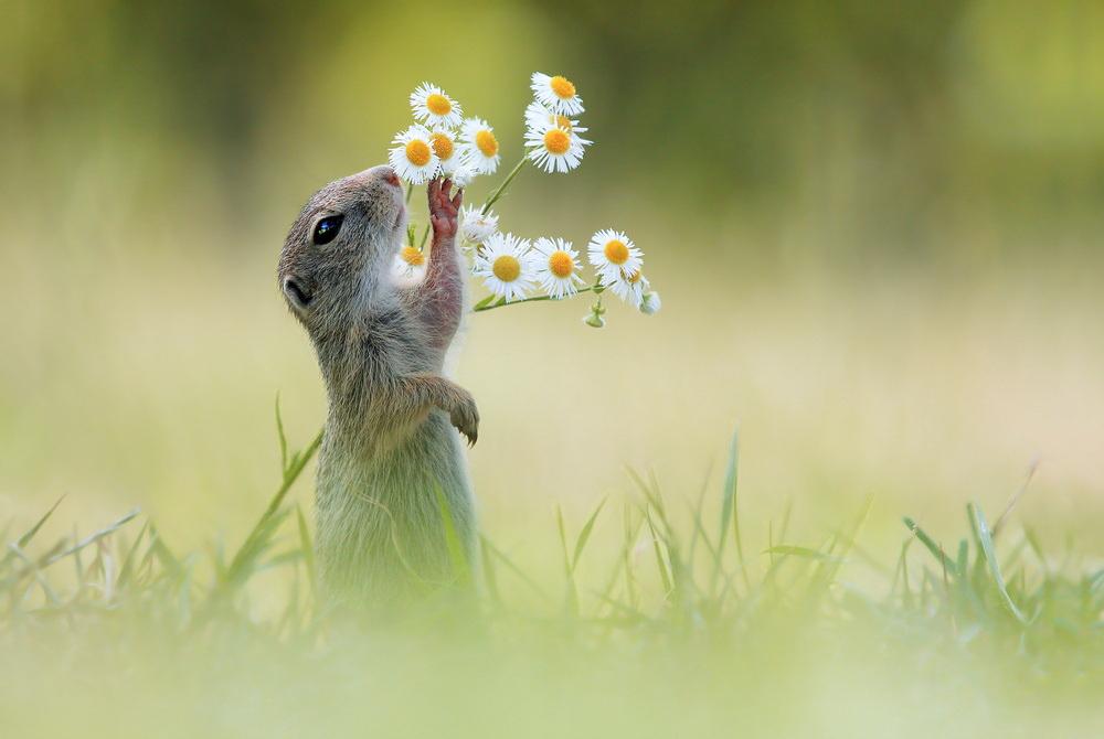 European Ground Squirrel by JulianRad