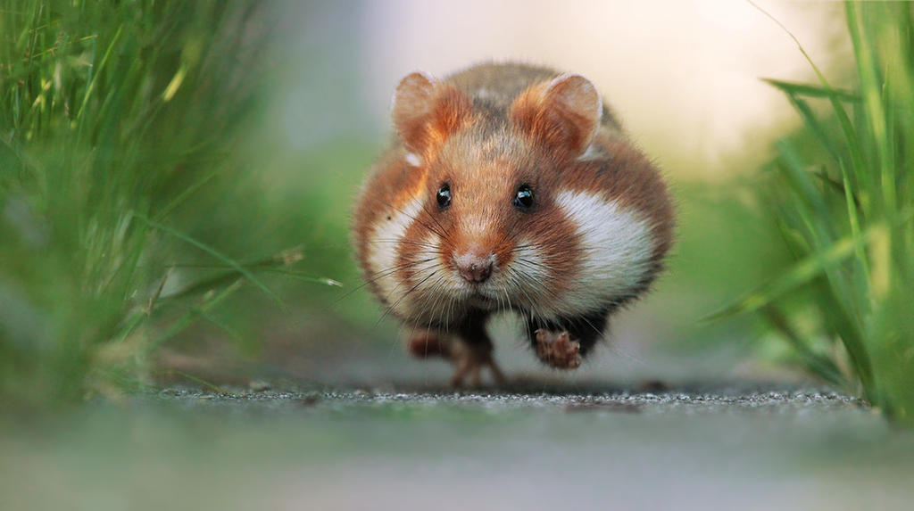 Hamster on a Mission by JulianRad