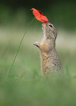 Ground Squirrel and Poppy