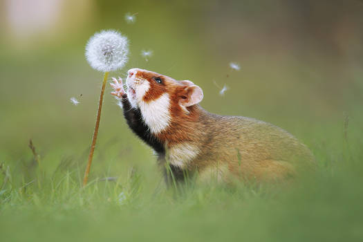 Hamster and Blowball