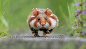 Hamster in a hurry