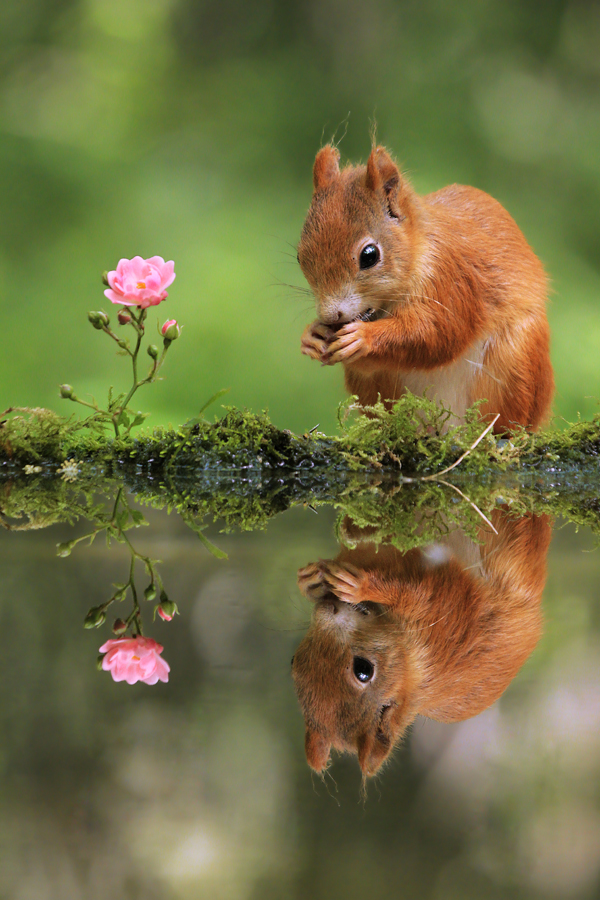 Squirrel and Rose by JulianRad
