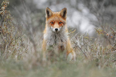 Red Fox by JulianRad