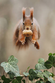 Is it a bird? Is it a plane? No its a squirrel!