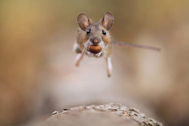 Jumping Woodmouse
