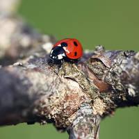 Ladybug II by abloom