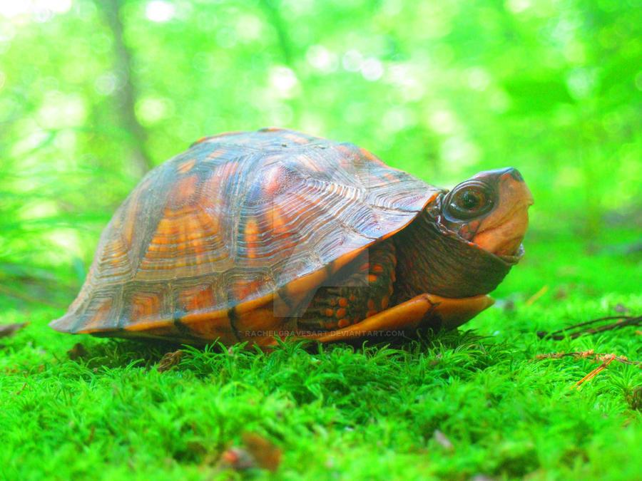 Mister Turtle, free again by Rachelgravesart