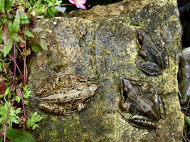 My Lovely Froggies by Thelma1