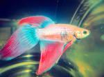 Pet fish