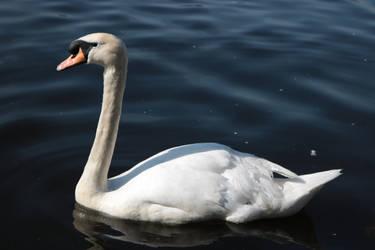 Swan by Beliou