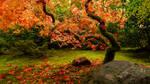 Japanese Maple Study 01