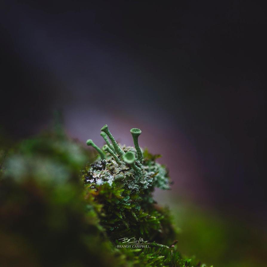 Cladonia Fimbriata by brandtcampbell