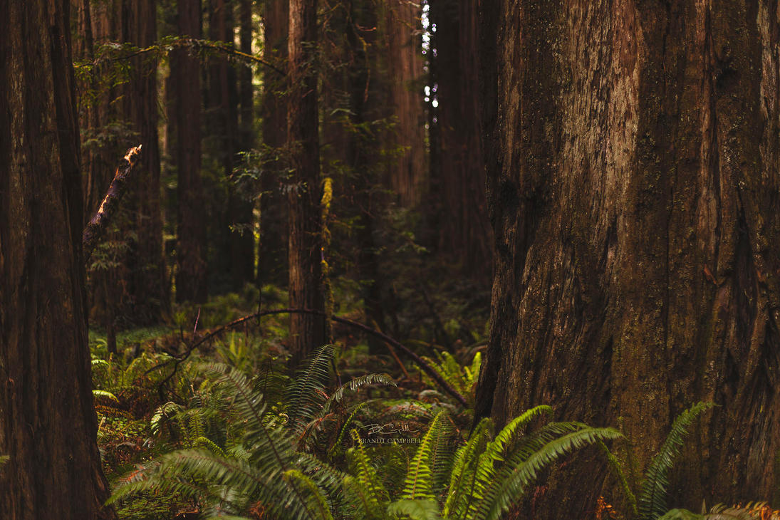 Ferns and Redwoods by brandtcampbell