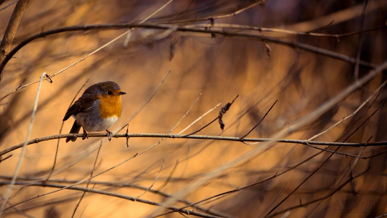 Robin by vampk1tty